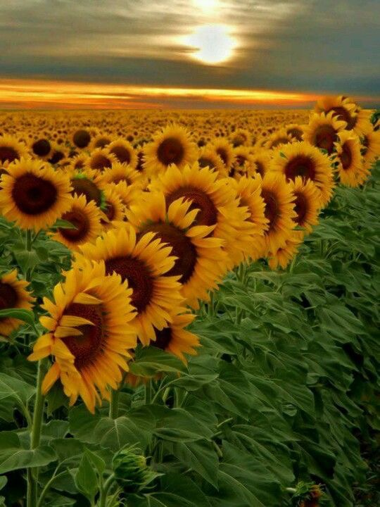 Sunflower_Day